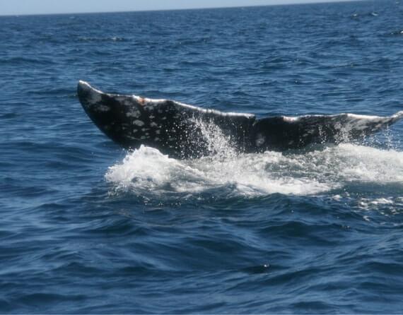 фото серые киты в Мексике