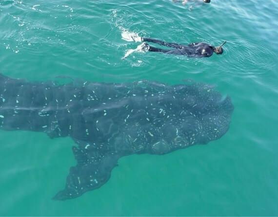 фото китовая акула Лос Кабос