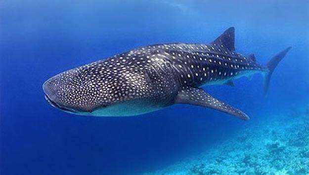 holbox-ecoturismo-tiburon-ballena